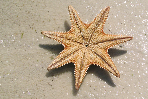 Seven armed starfish on the beach