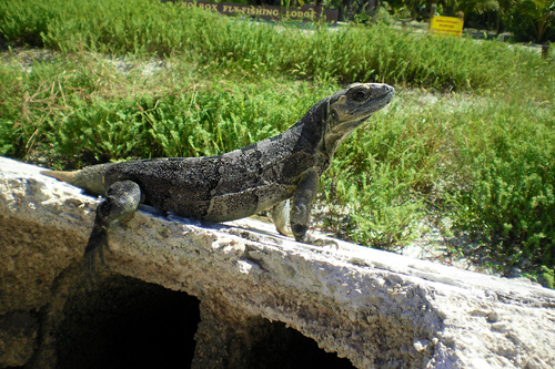 Also the iguanas living in the island are so peaceful